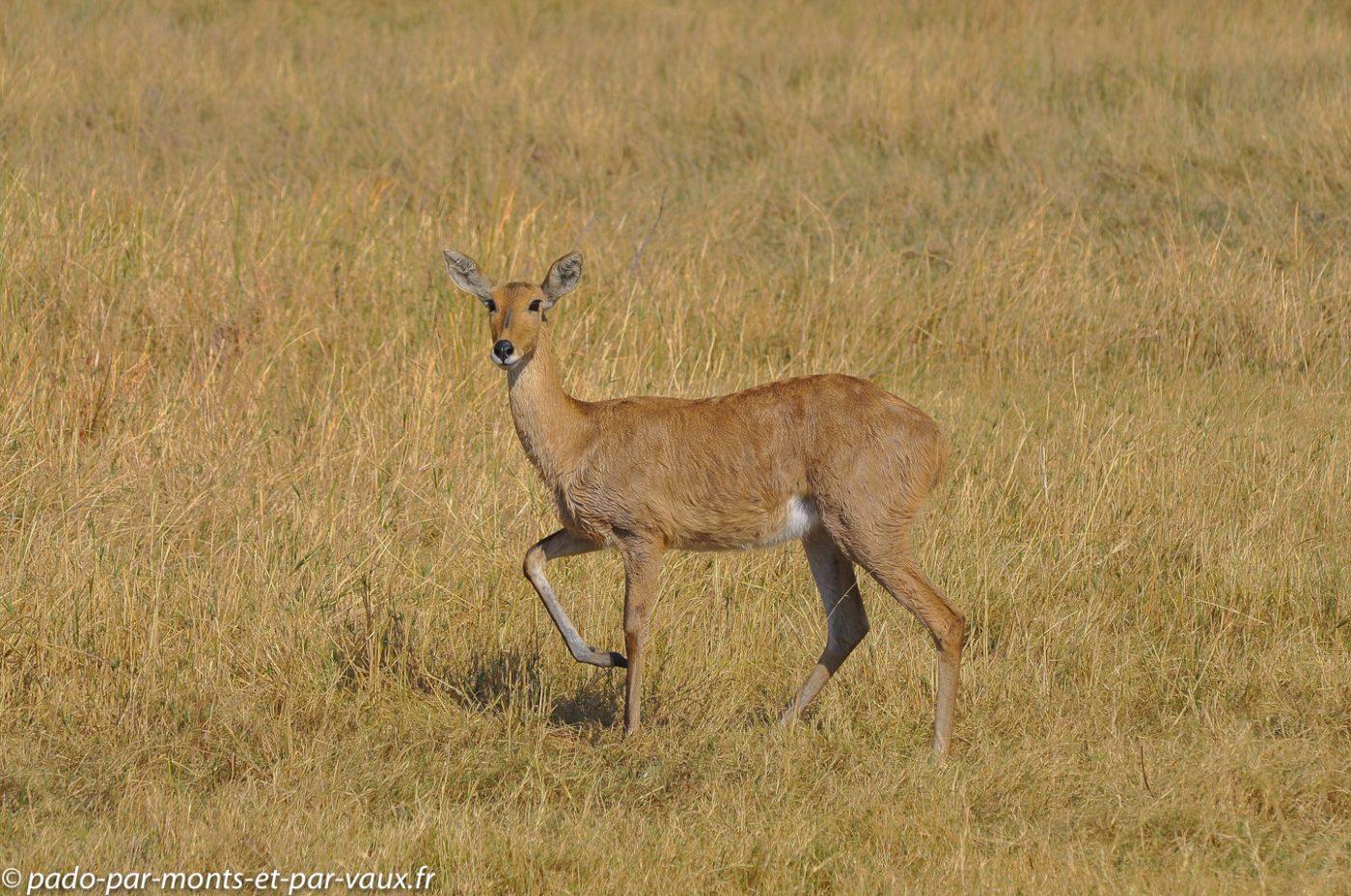 Botswana 2013 - Moremi - Cobe de Lechwe