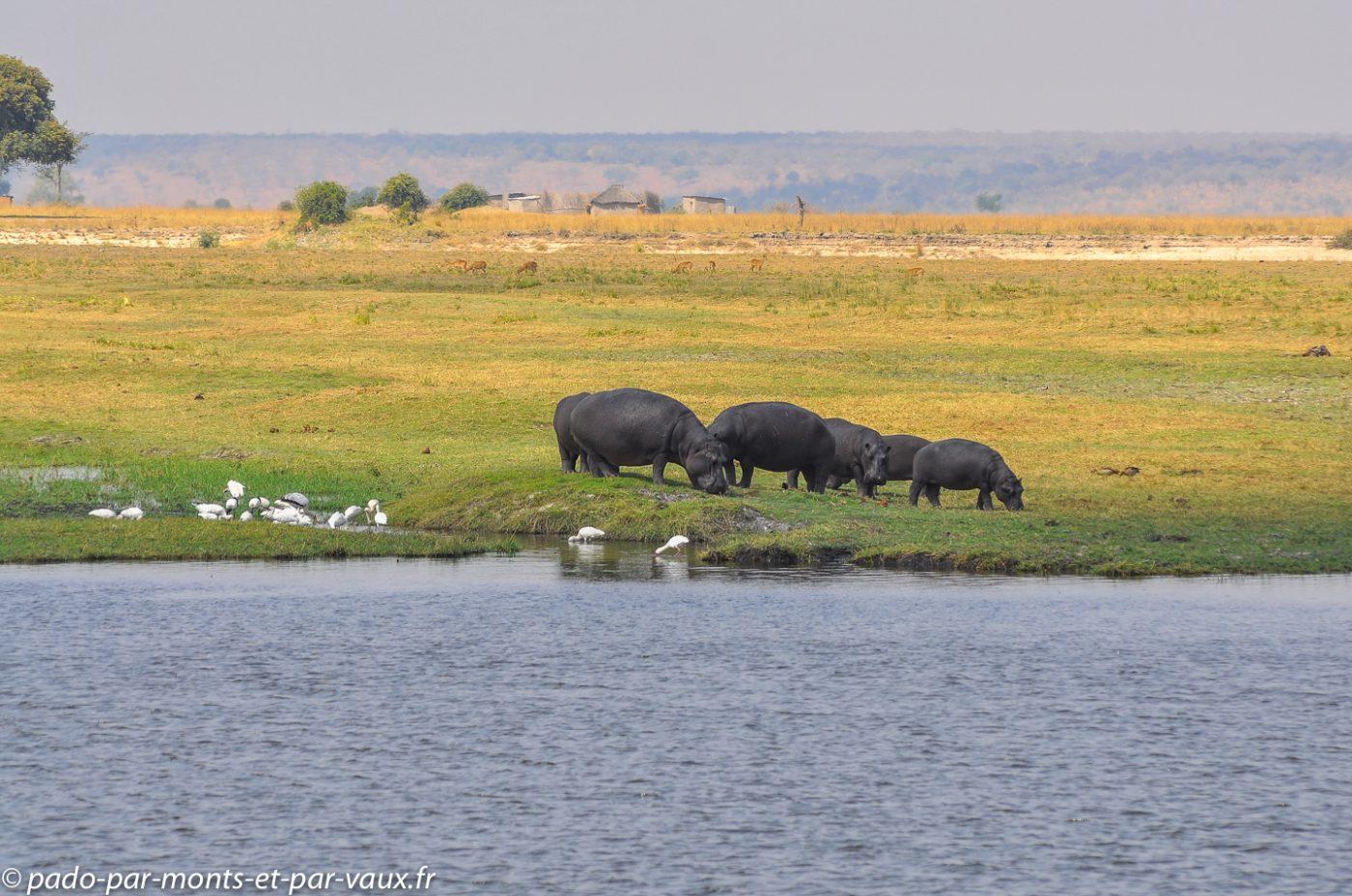 Rivière Chobe - hippopotames