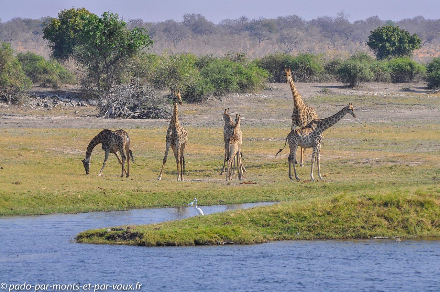 Rivière Chobe - Girafes