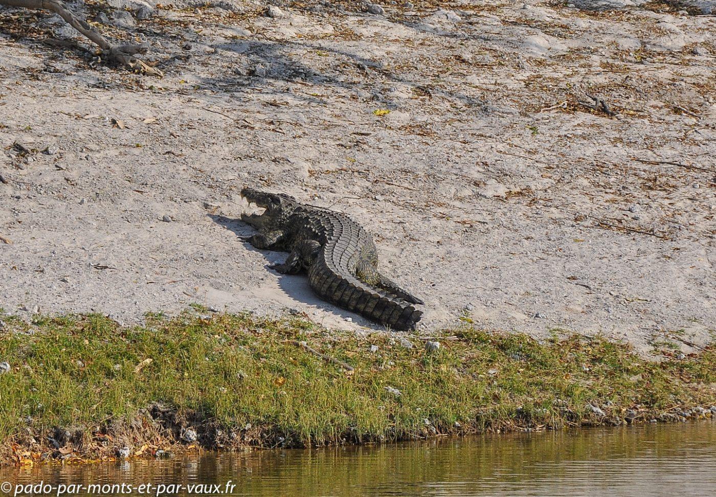 Rivière Chobe - crocodile