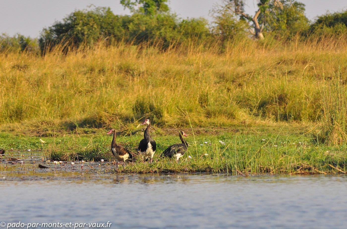 Rivière Chobe - Oies armées de Gambie