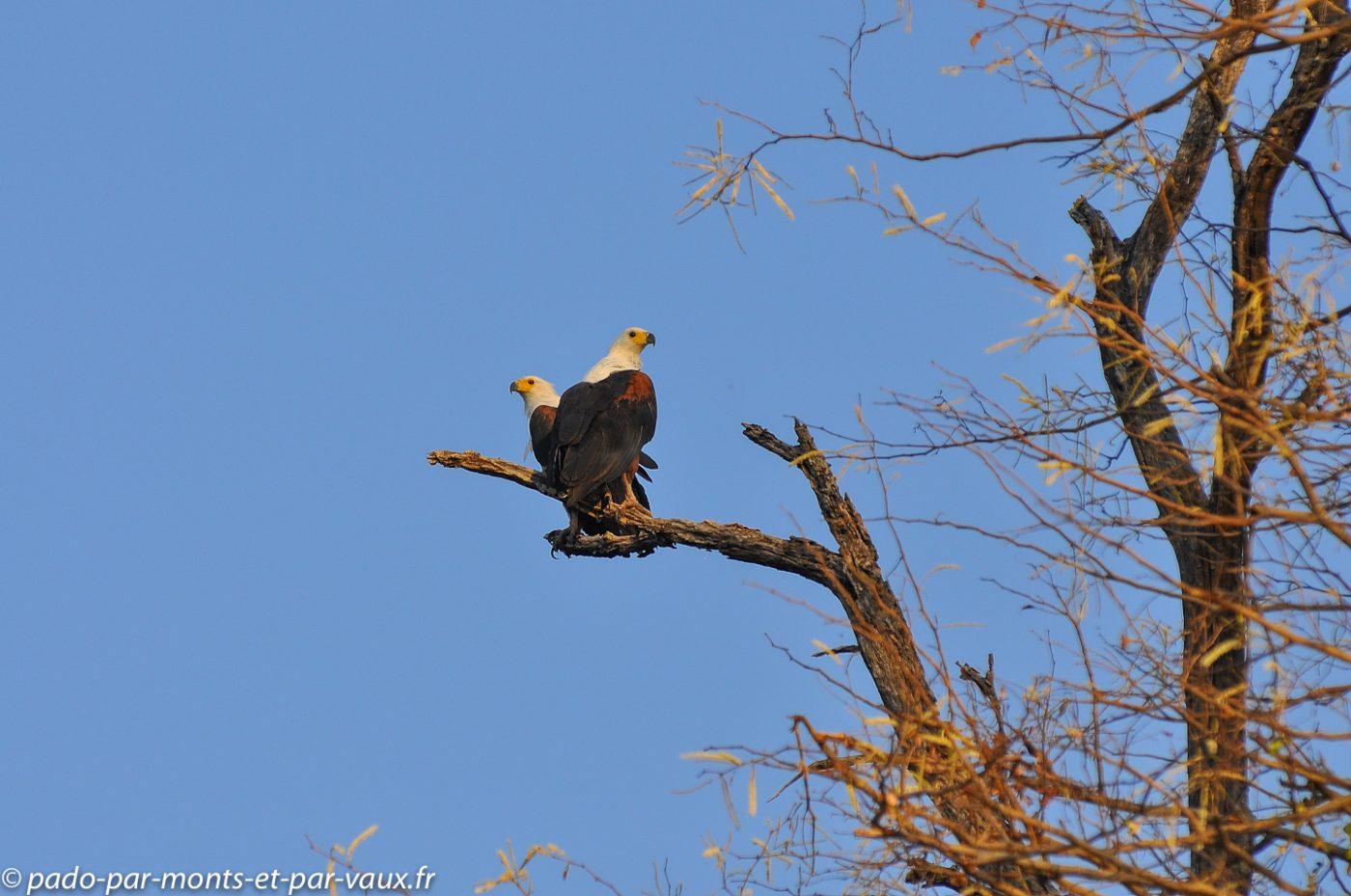 2013- riviere Chobe - Pygargue vocifer