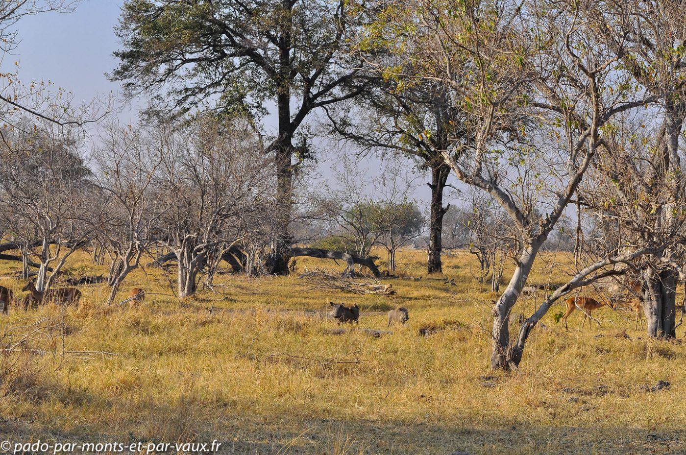 Phacochères et impalas