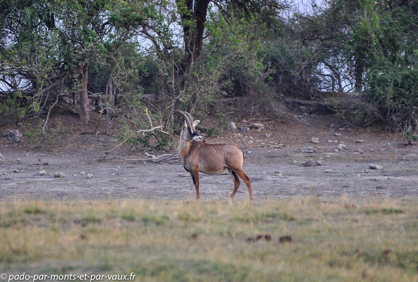 Rivière Chobe - Antilope rouanne