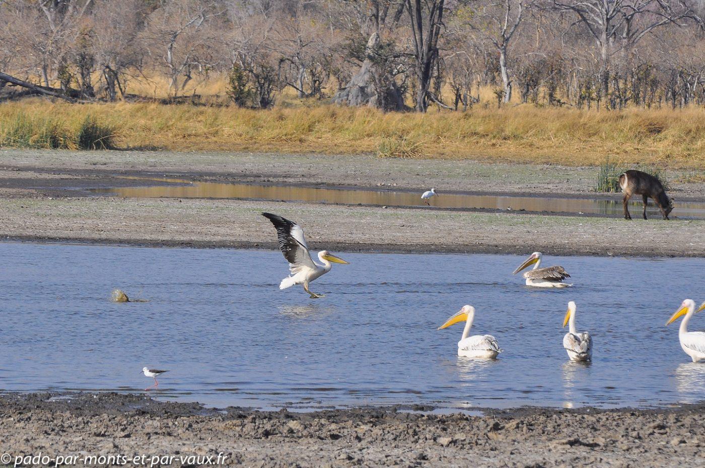 Botswana 2013 - Moremi - Pelicans blancs