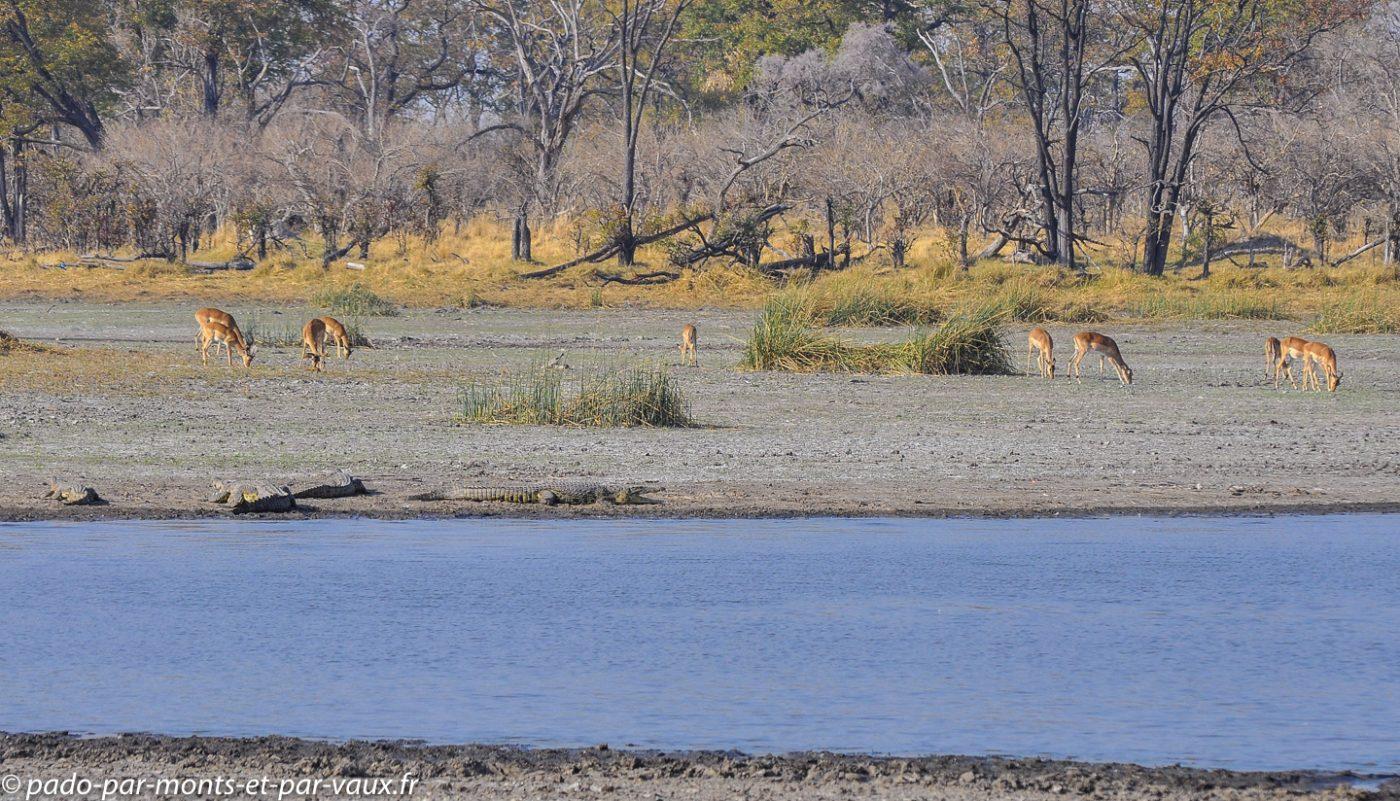 Impalas et crocodiles