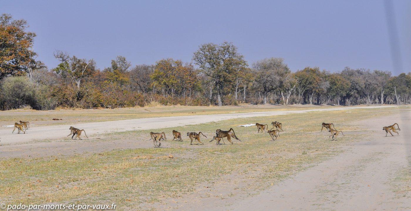 Babouins sur la piste