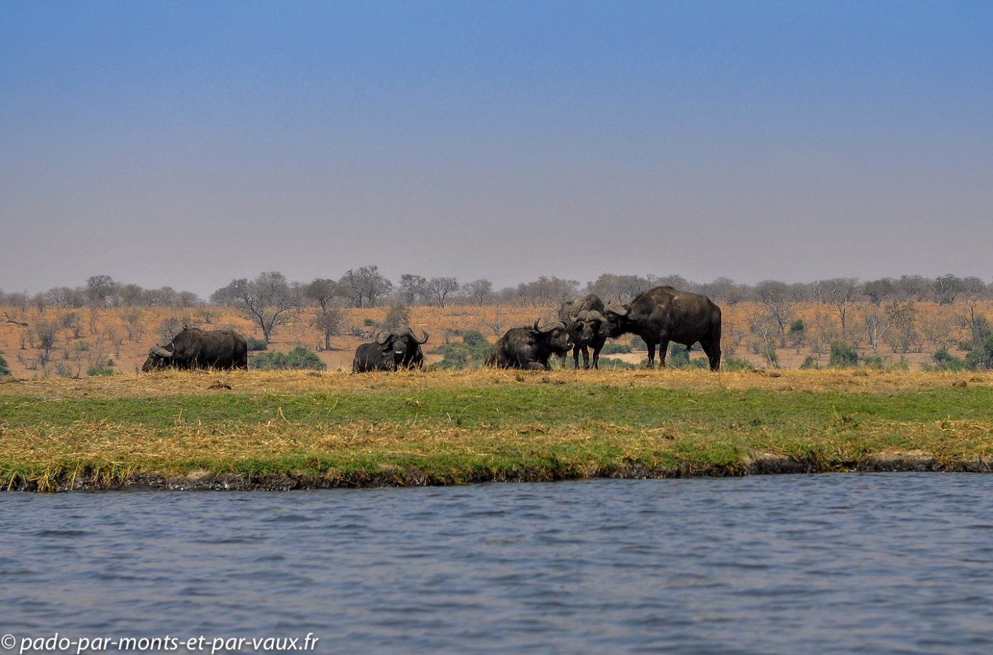 2013-  riviere Chobe - buffles