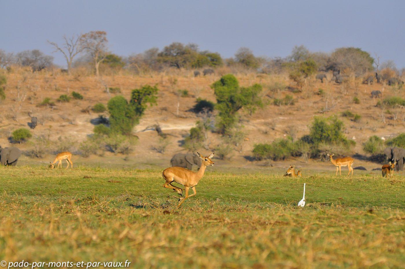 2013-  Riviere Chobe - Impala