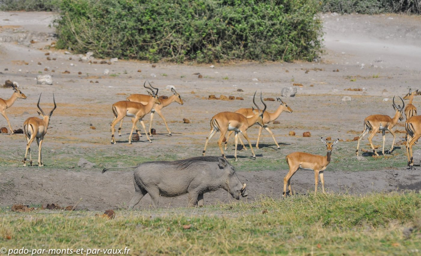 Impalas et phacochère