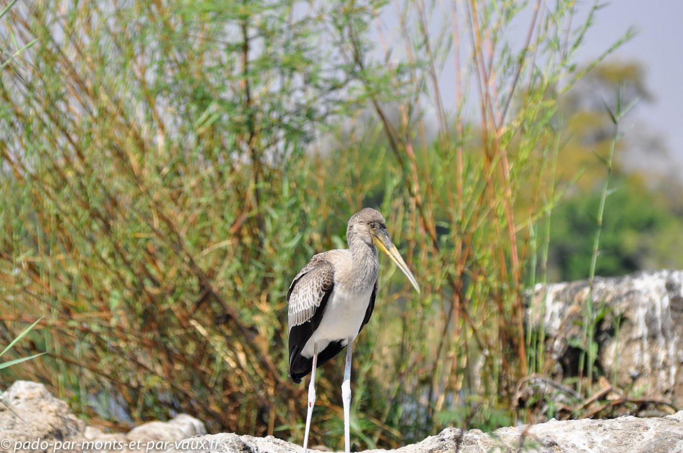 Tantale ibis jeune