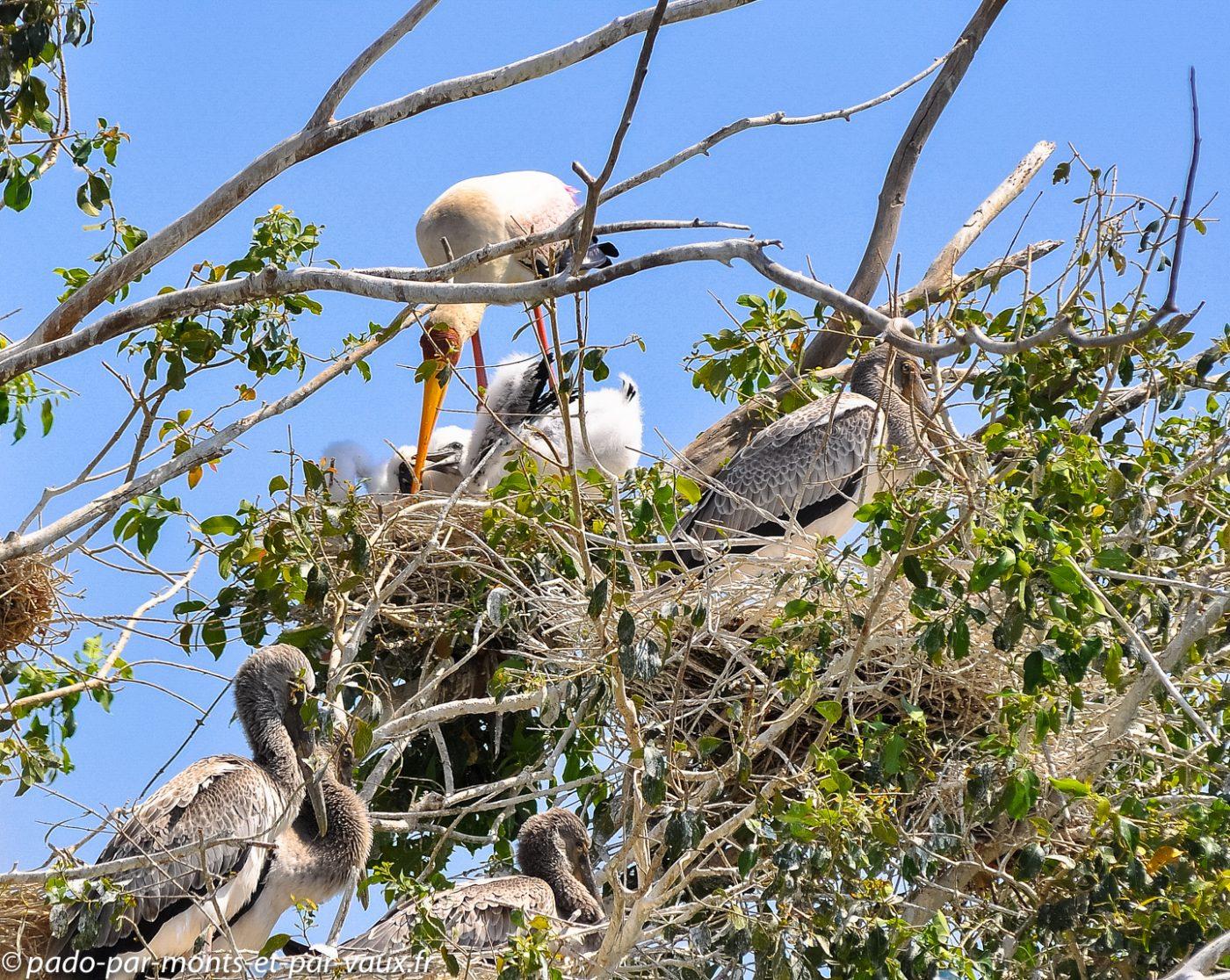 Tantales ibis adultes, jeunes et bébés