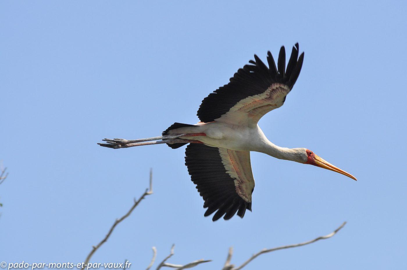 Tantales ibis