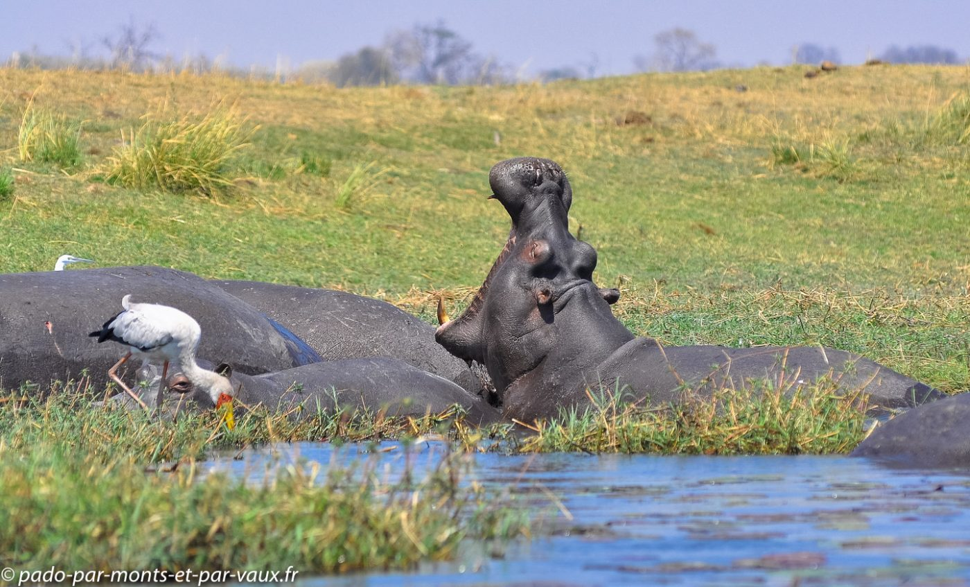 2013- Riviere Chobe - Hippo