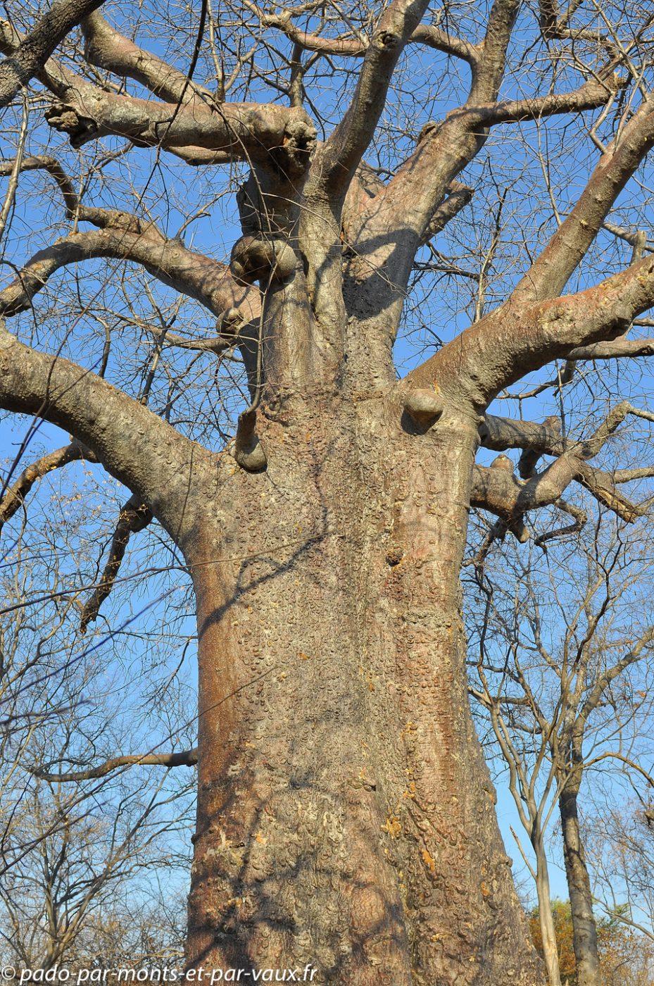 Ile impalila - Baobab