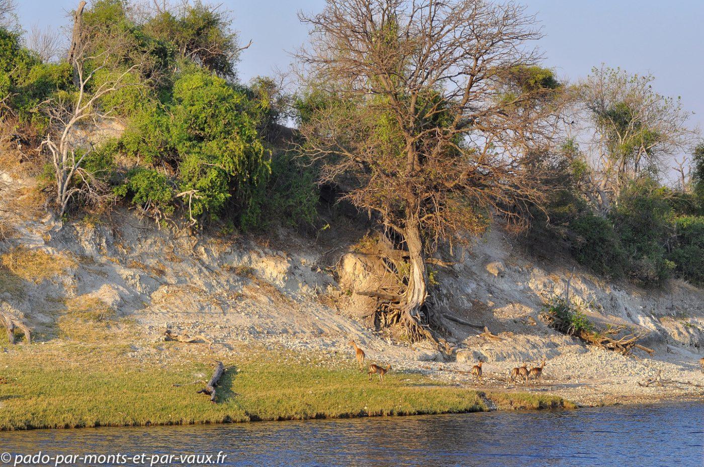 Rivière Chobe - Impalas