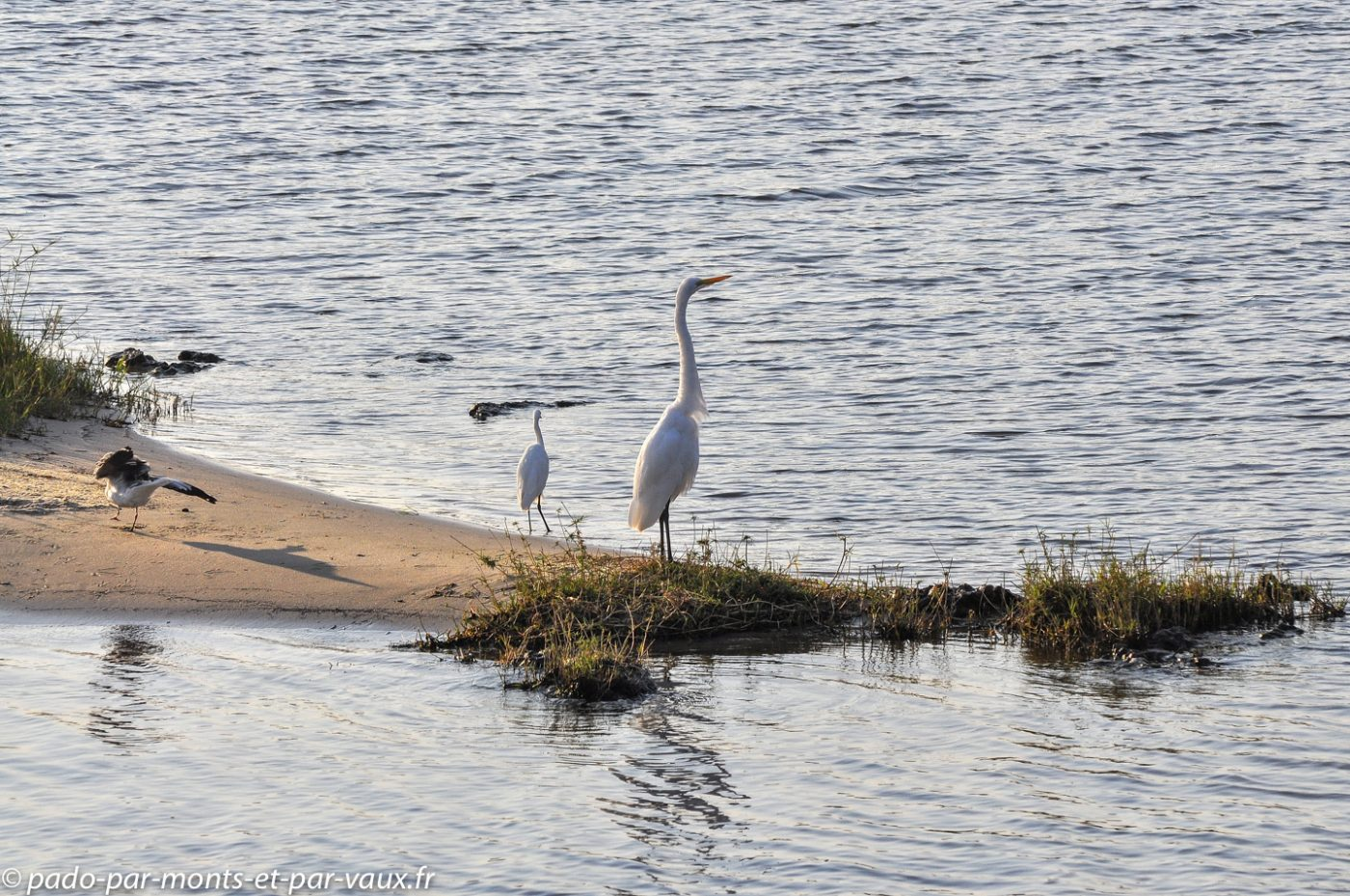Rivière Chobe - Grande Aigrette