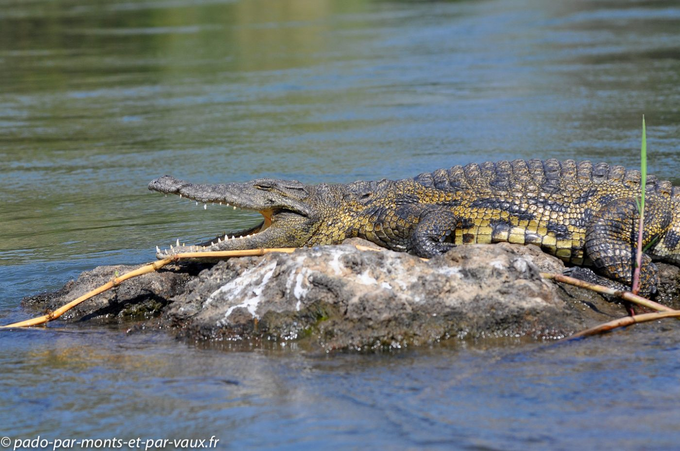 2013-  Riviere Chobe - Crocodile