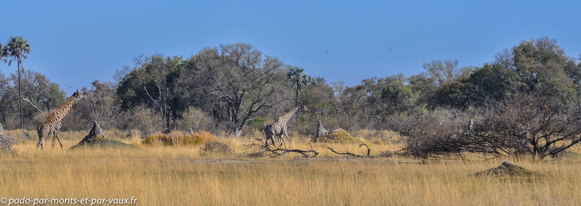 Gunn's camp - Girafes
