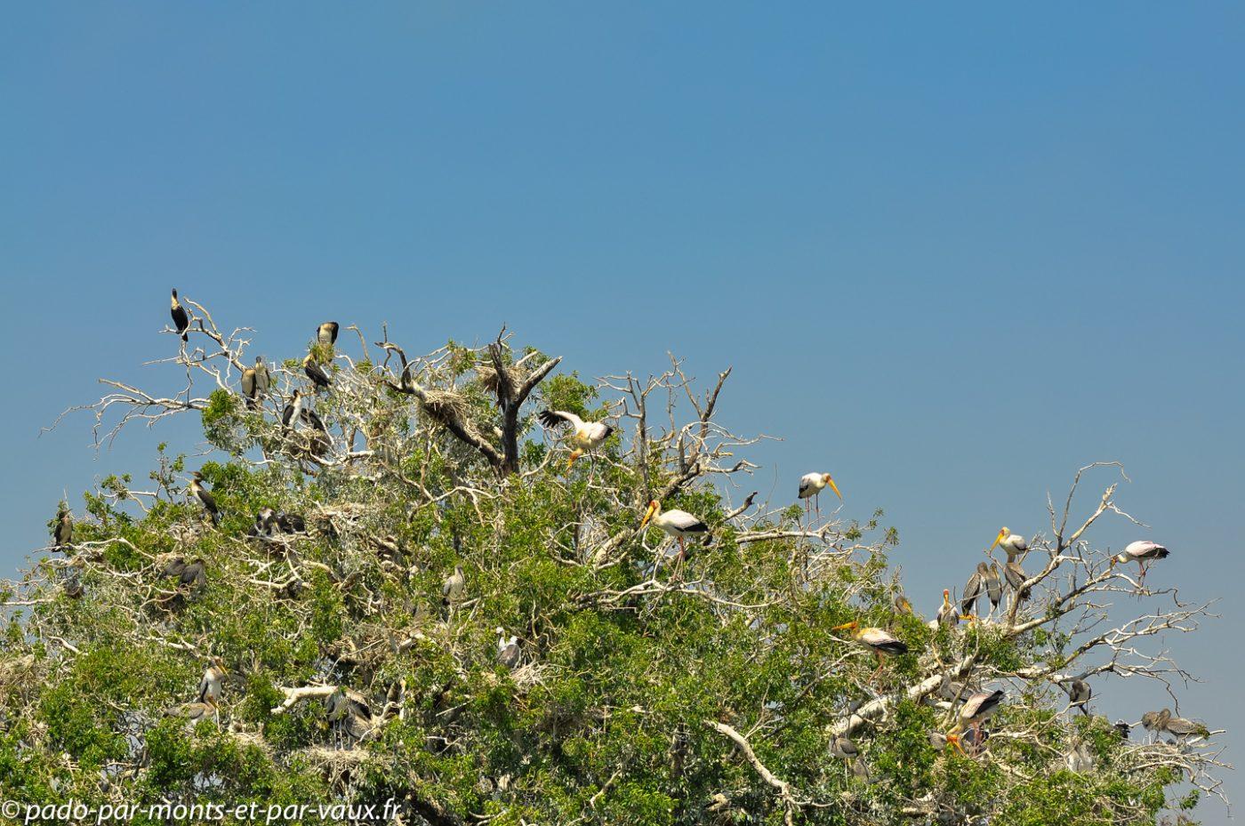 Tantales ibis et cormorans