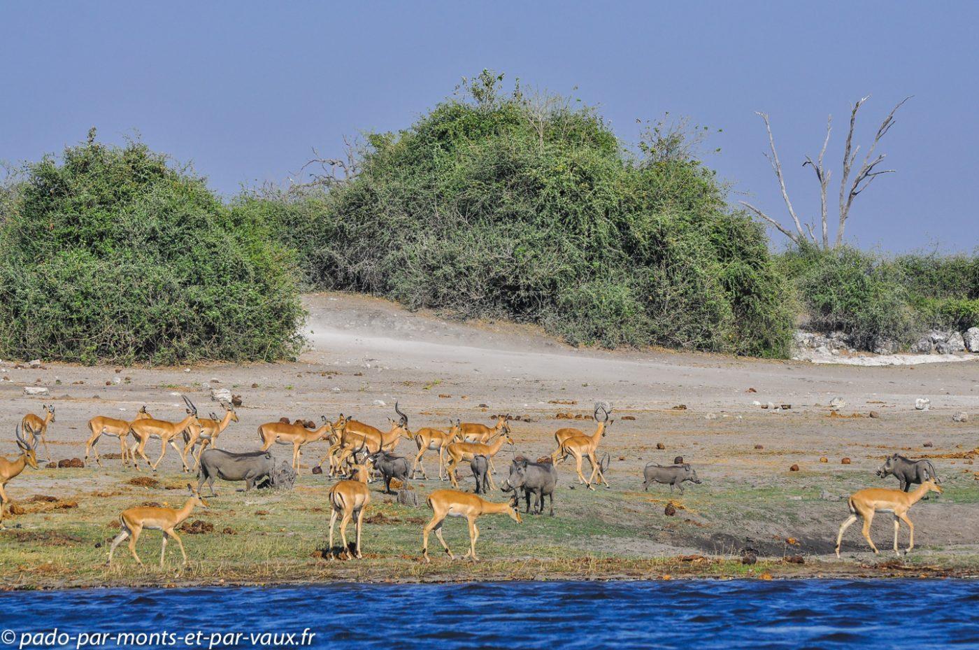 Impalas et phacochères