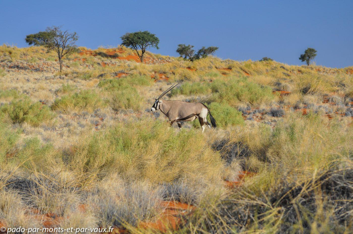 Tok Tokkie Trail - Oryx