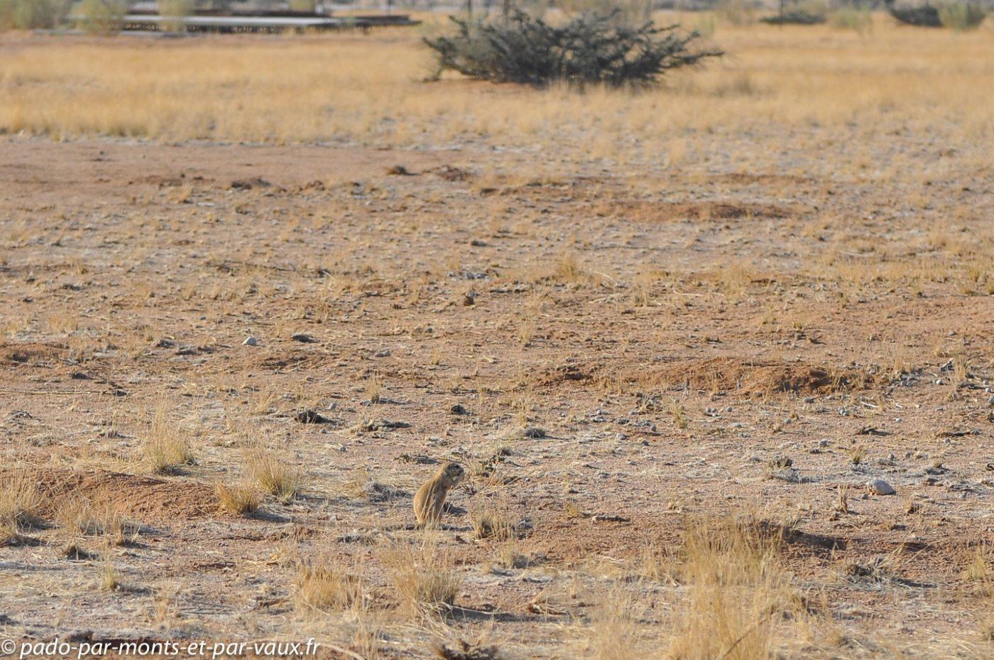 Ecureuil de terre du Cap