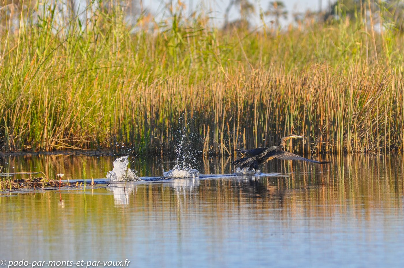 Botswana 2013 - Okavango - Anhinga dAfrique