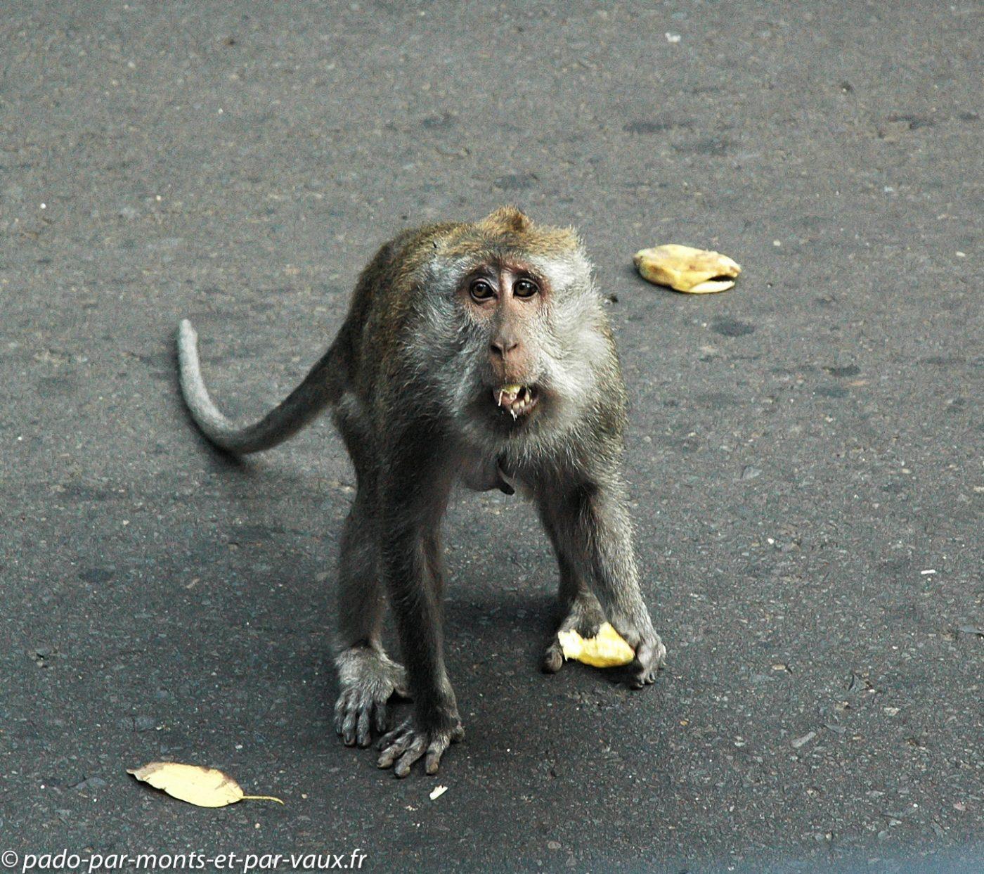 Bali - macaque à longue queue