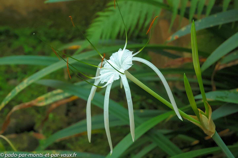 Jardin du Waka Namya - Ubud - Crinum amabile