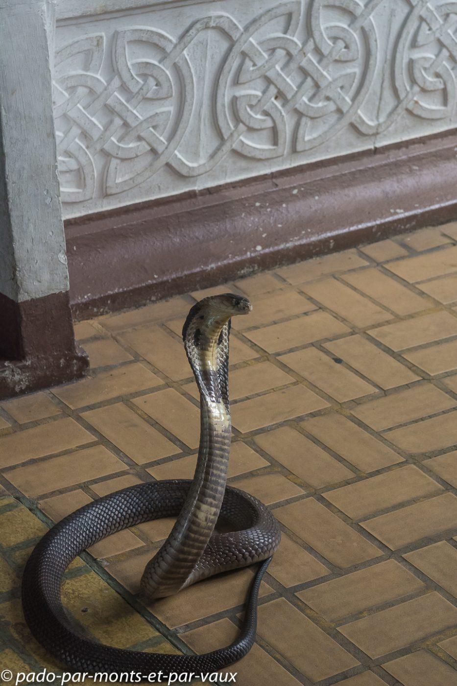 Cobra à monocle