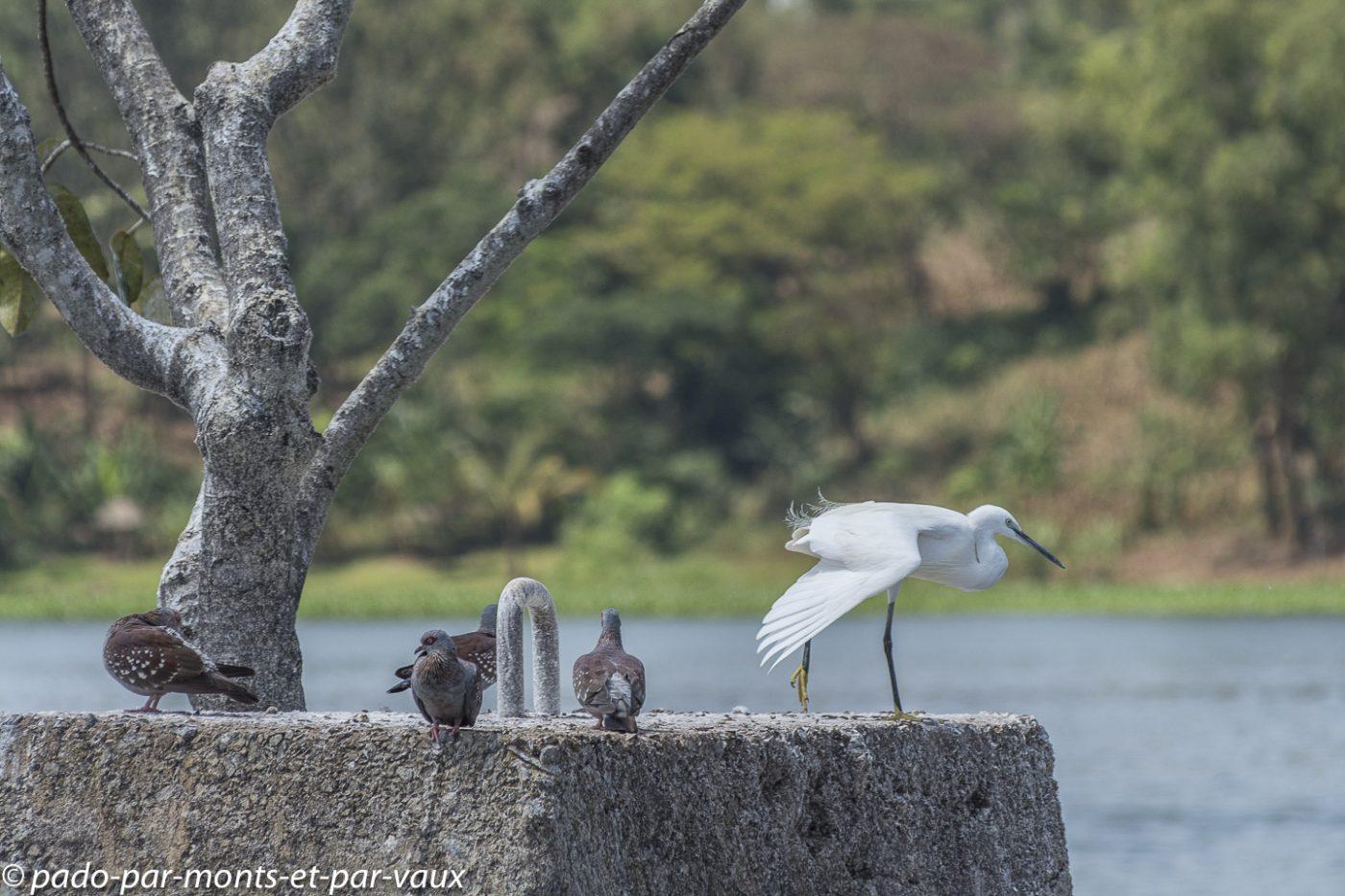 Aigrette et pigeons roussards