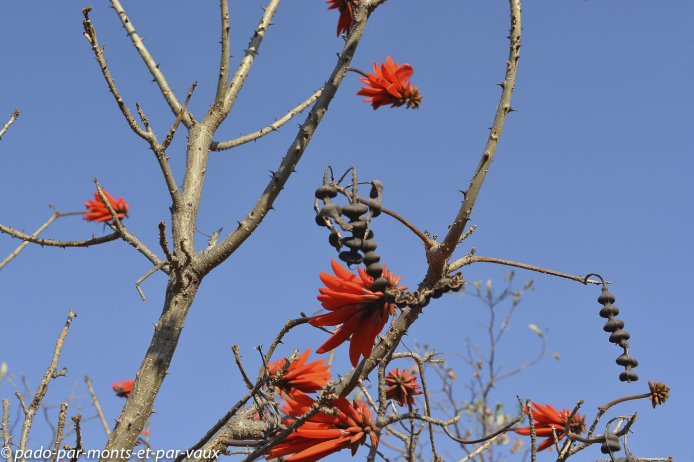 Iketla lodge - arbre corail