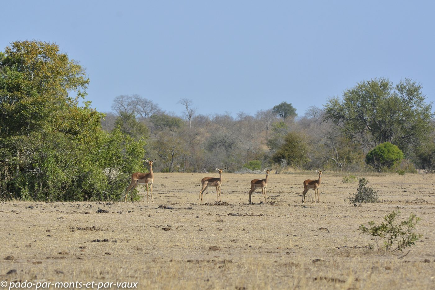 Rhino walking trail - Impalas