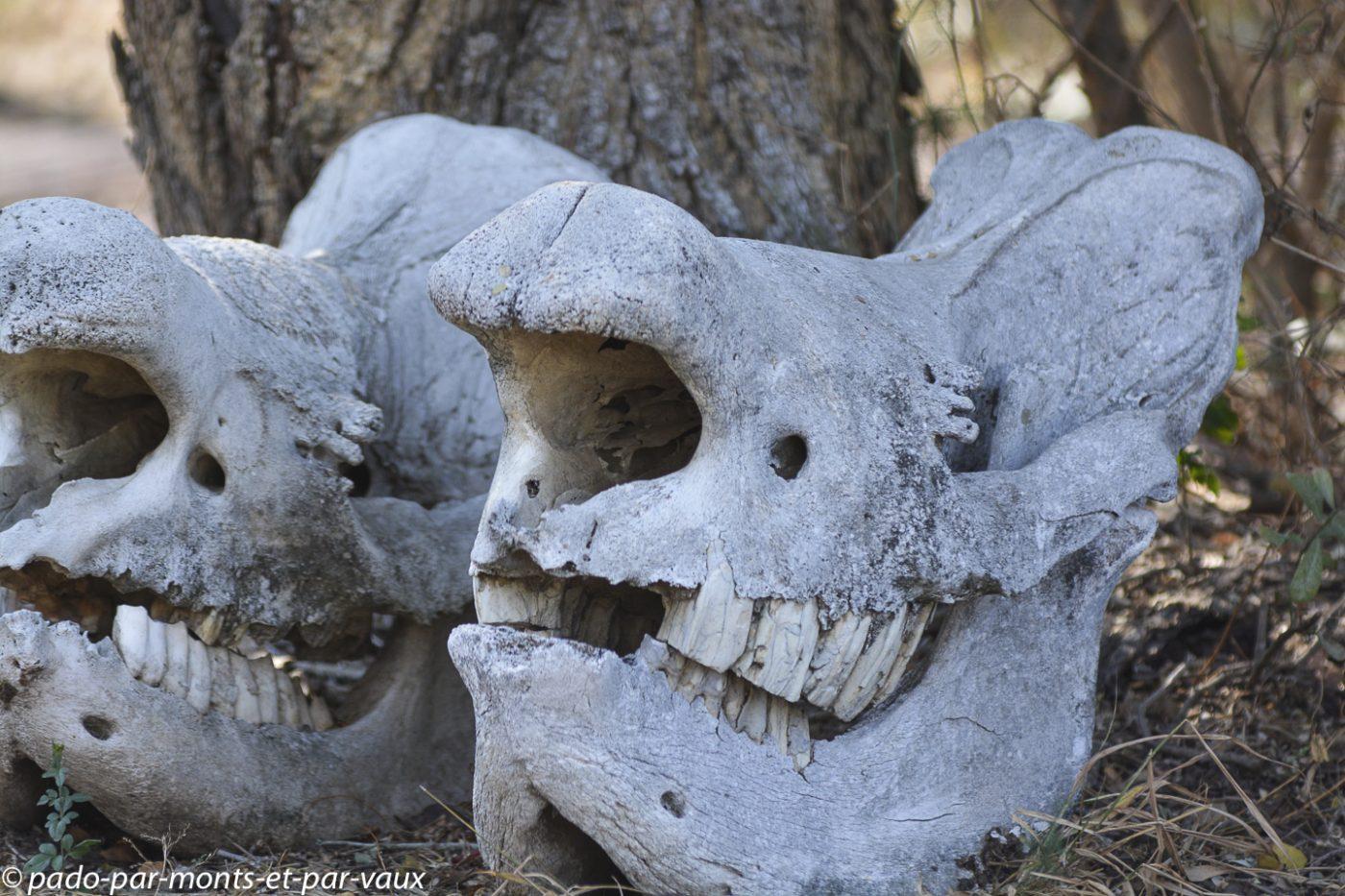 Crânes de rhinocéros