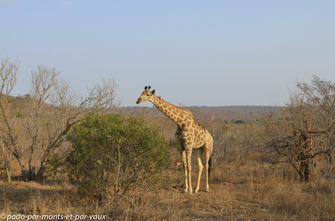 Ulusaba girafe