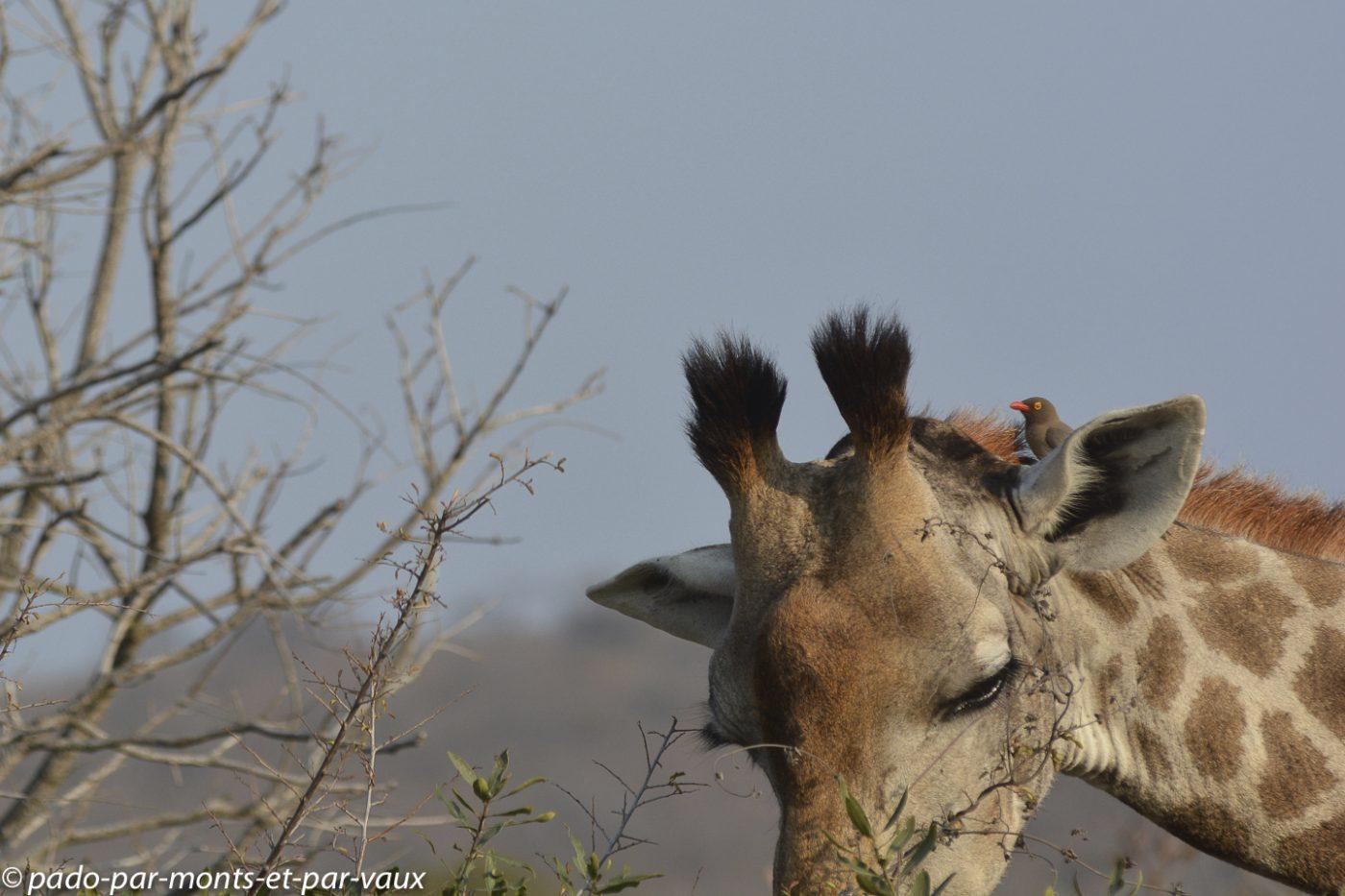 Girafe et Piqueboeuf à bec rouge