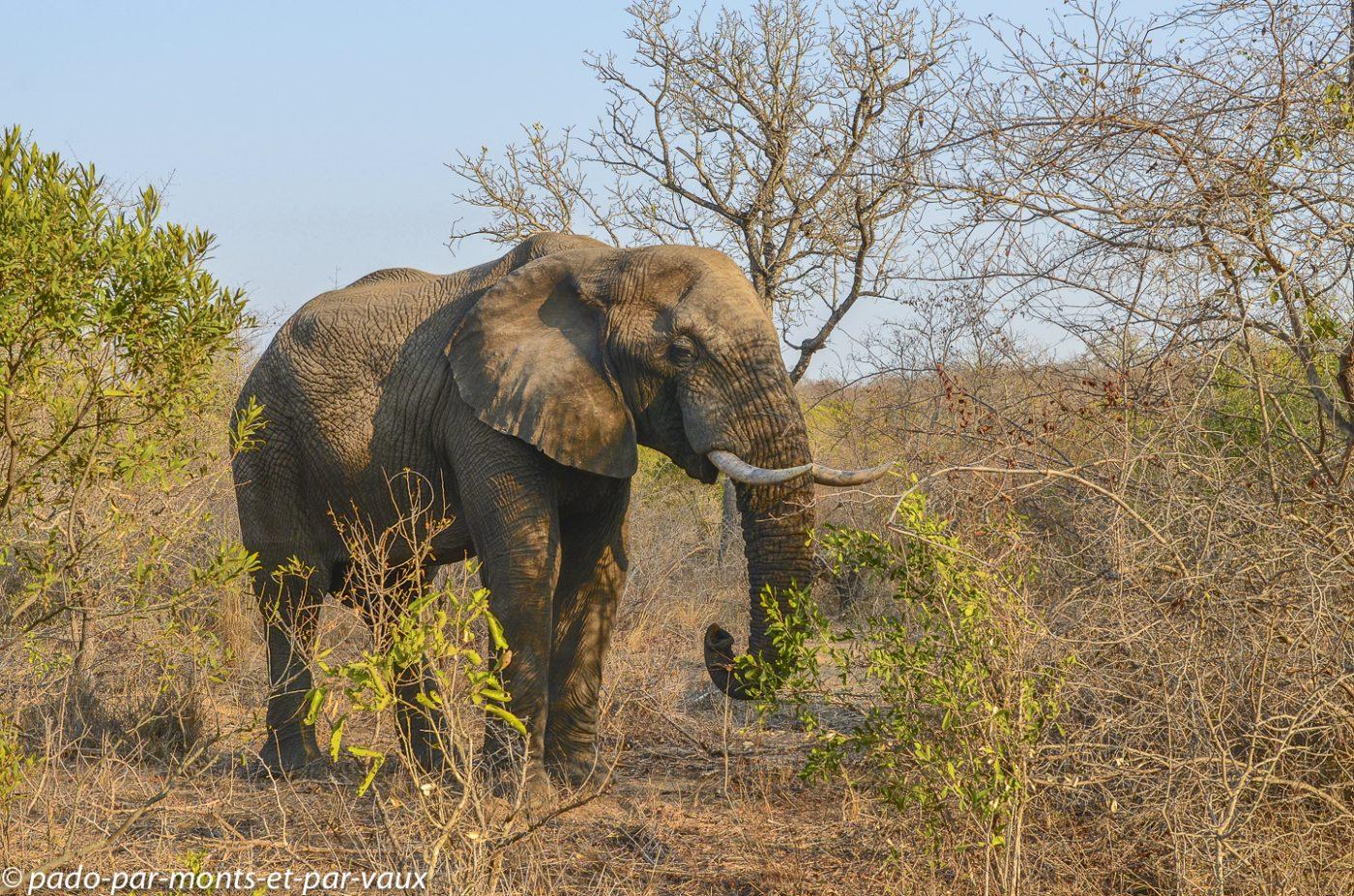 Sabi Sand - Elephant
