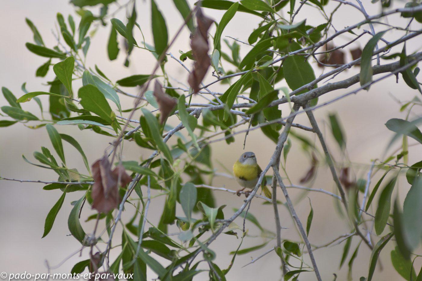 Ulusaba - Apalis à gorge jaune