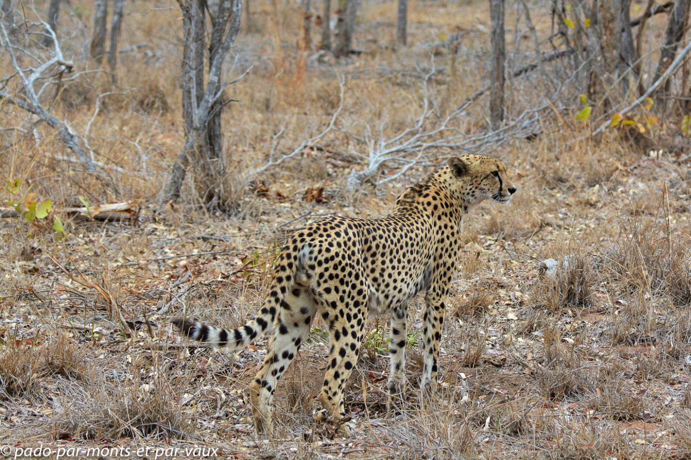 Ulusaba - guépard