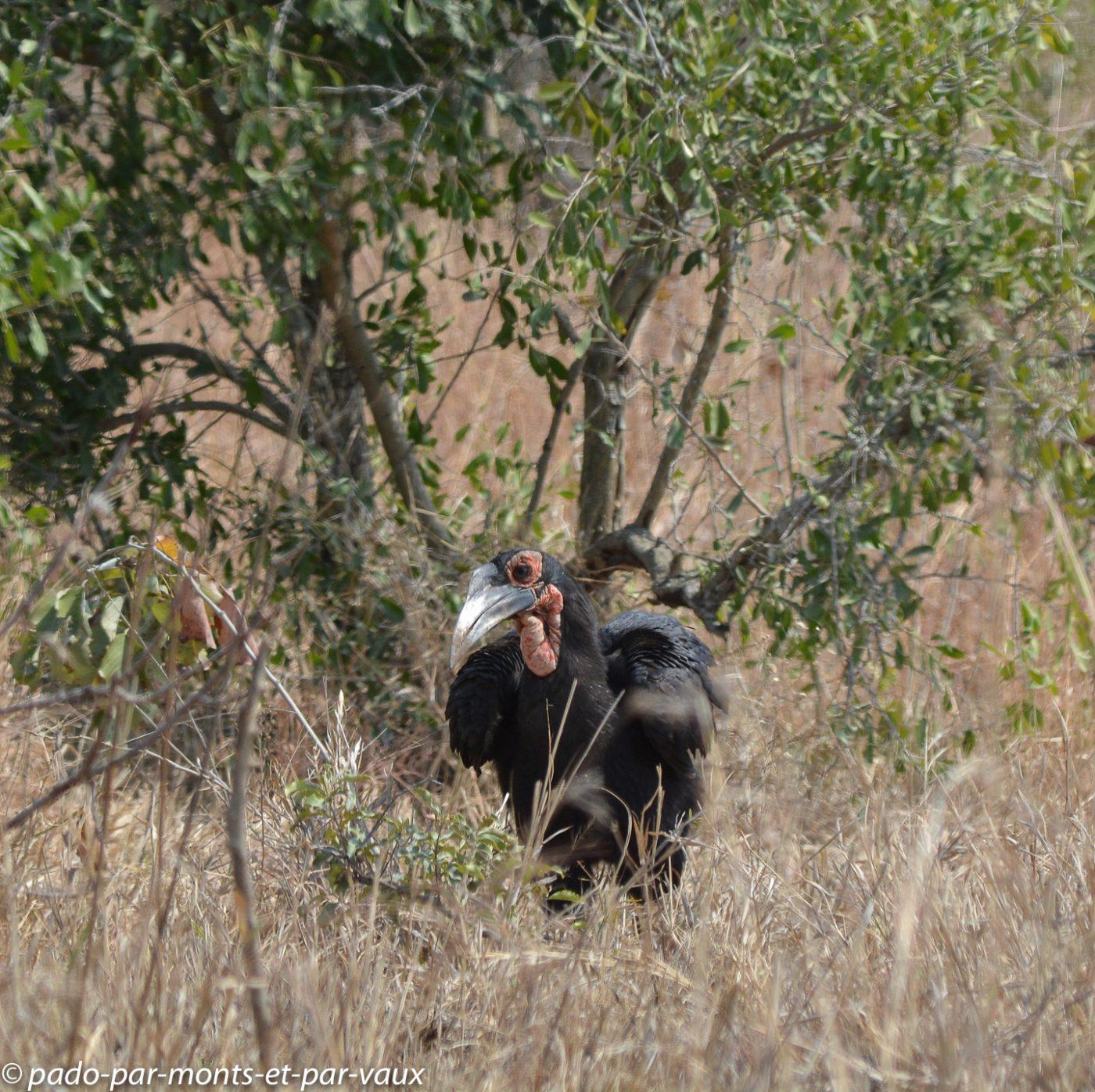 Ulusaba bucorve du sud