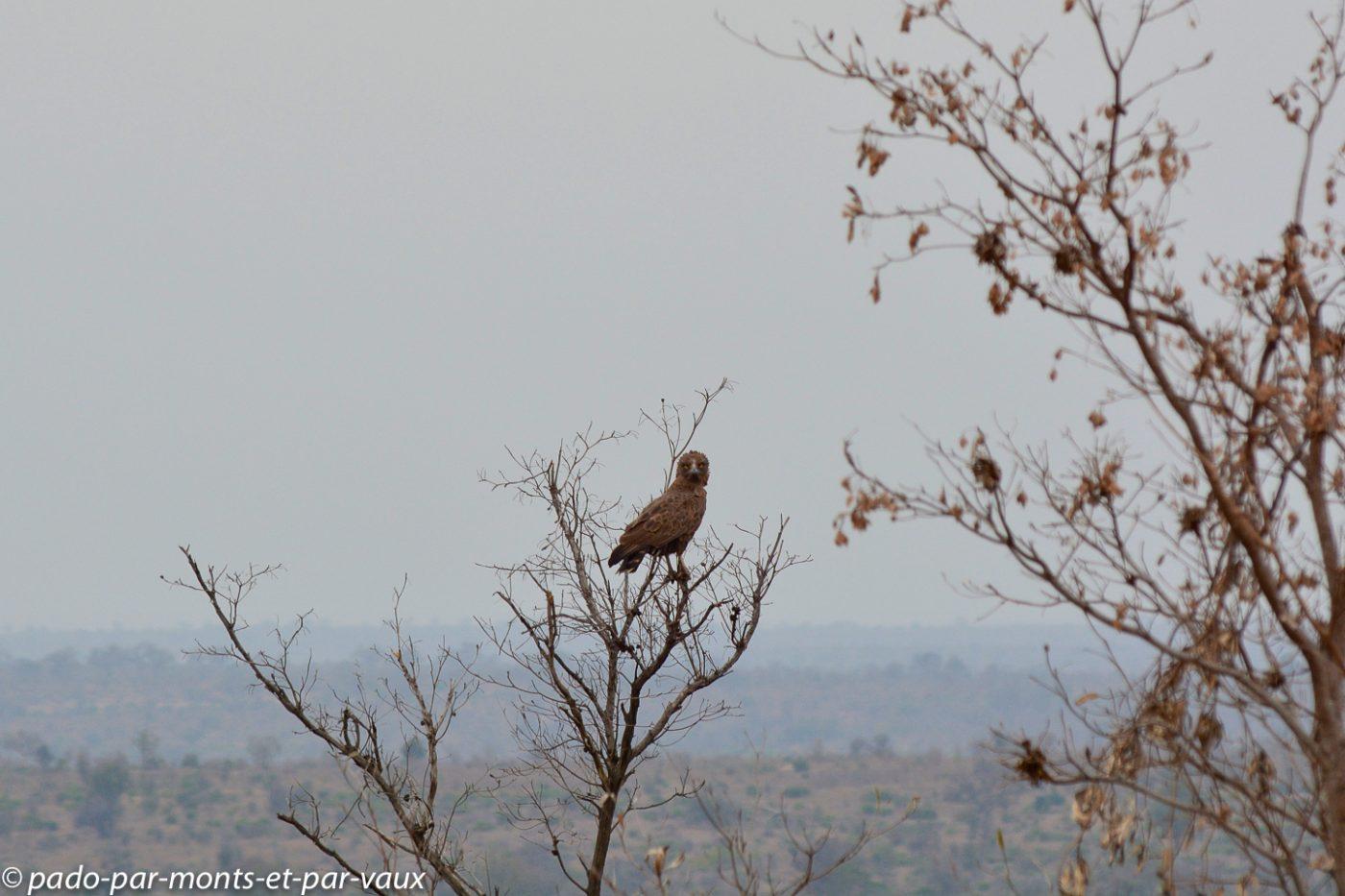 Kruger - Circaète brun