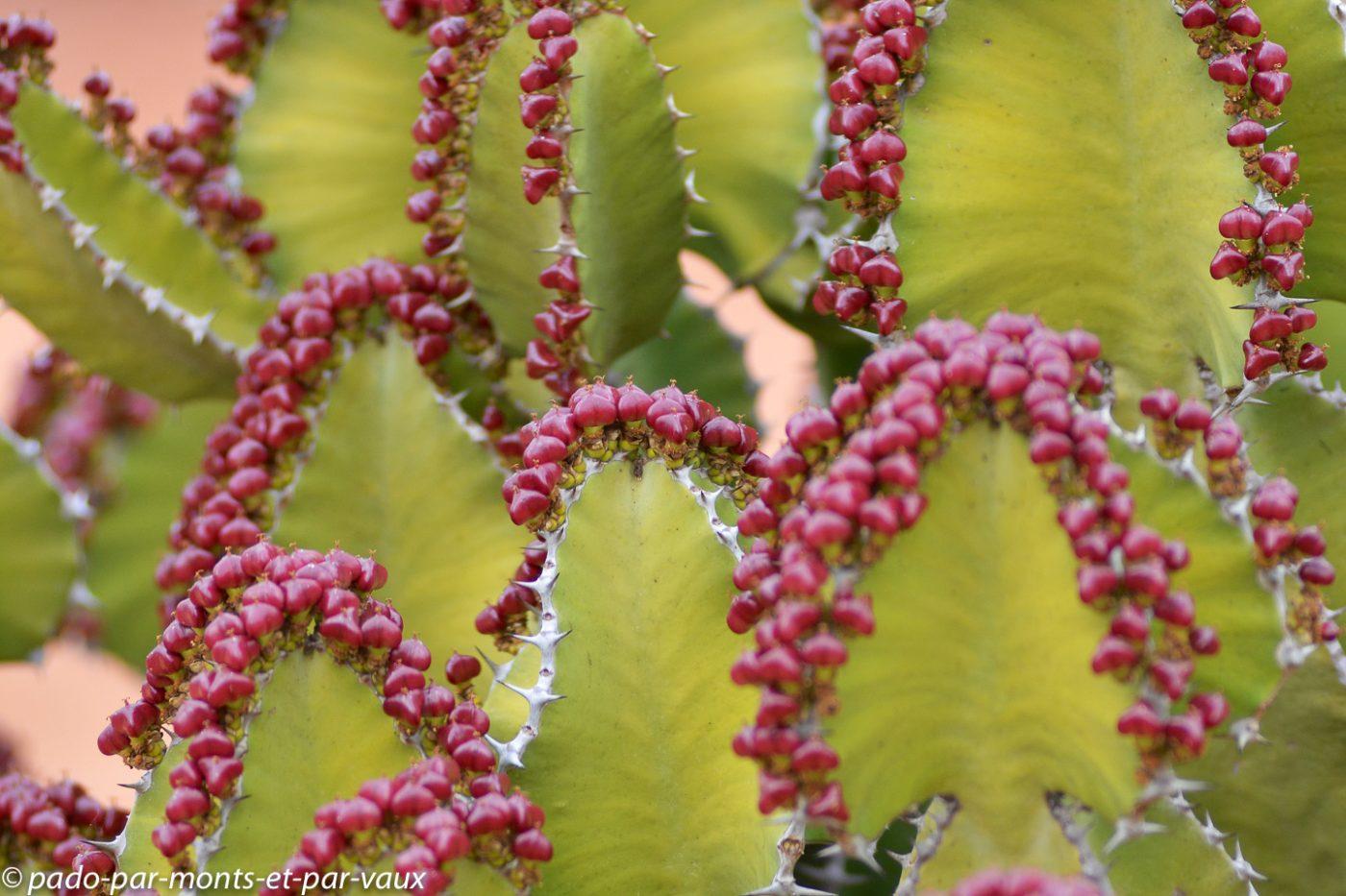Kruger - Euphorbe candélabre fruits