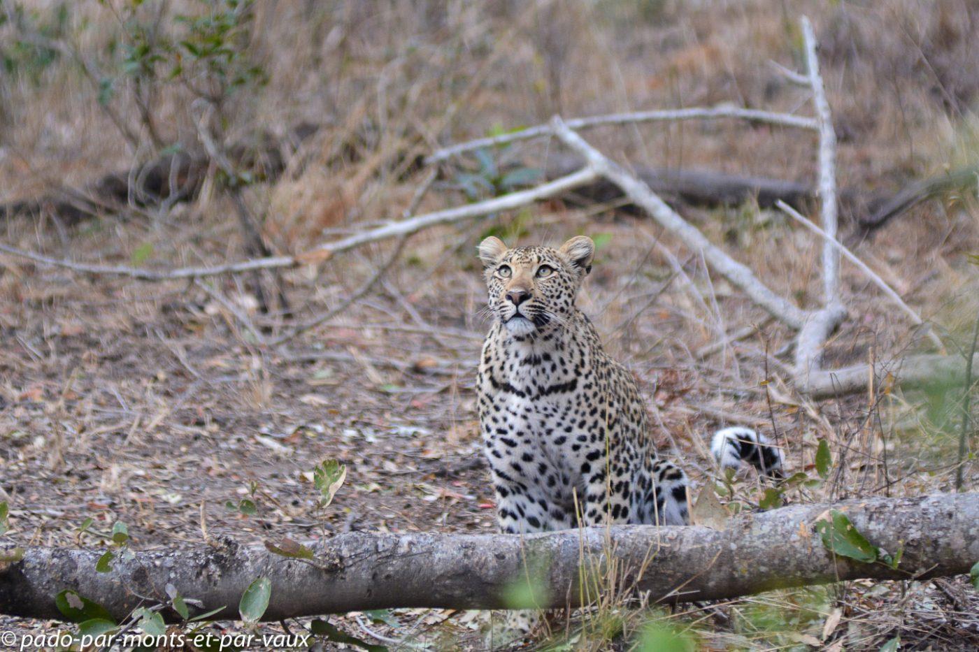 Ulusaba - léopard
