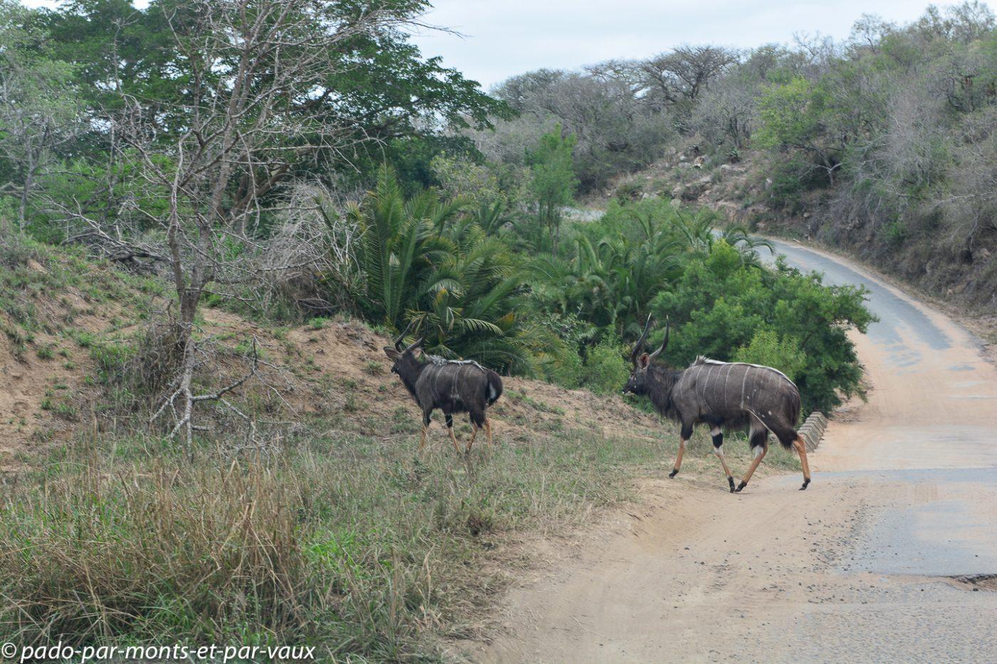 parc national de Hluhluwe - nyalas