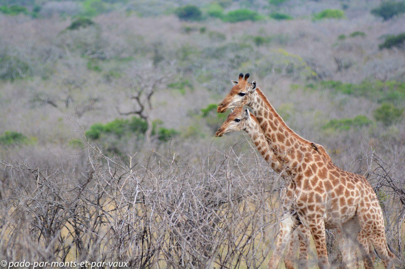 Hluhluwe - girafes