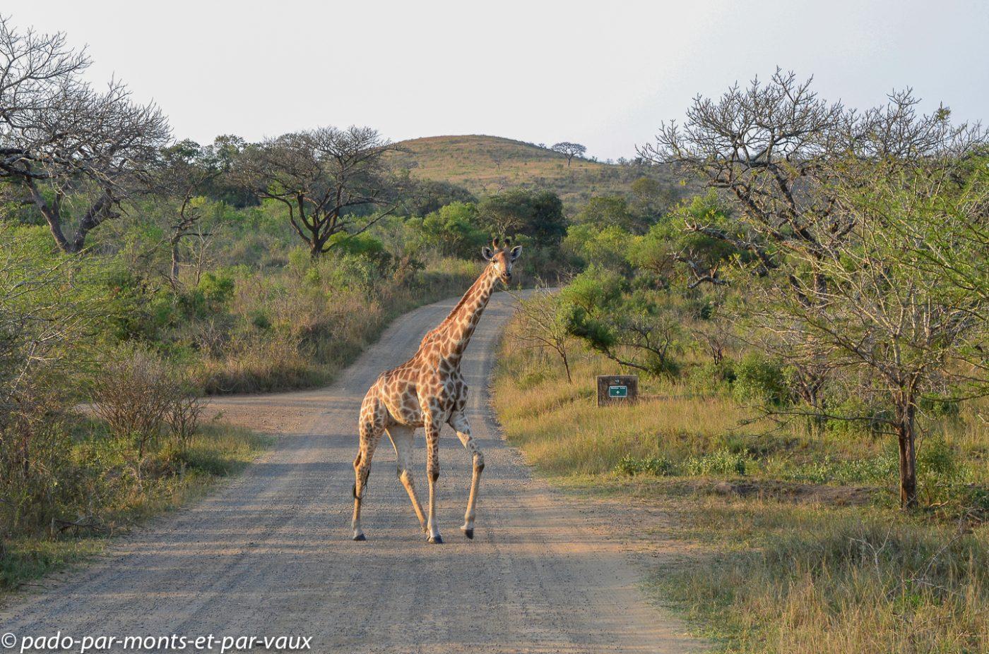 Hluhluwe - girafe