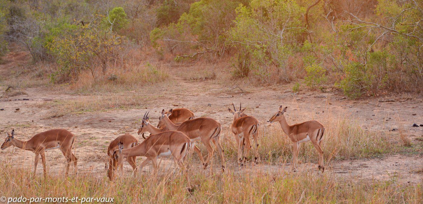 Hluhluwe - impalas