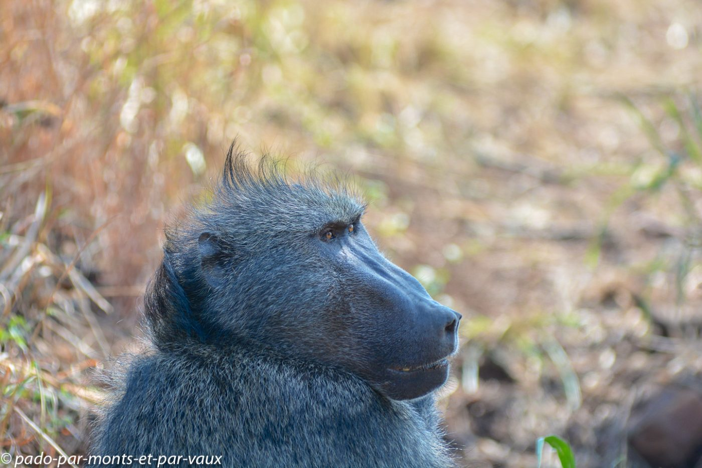 Hluhluwe babouin