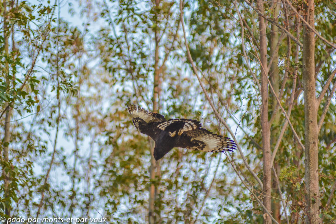 Santa Lucia Wetland park - aigle huppard